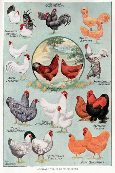 vintage chicken breeds poster ... also songbirds, fruits, and more ... site has lots of great free printables of ALL kinds