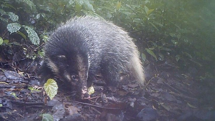 Sumatran hog badgers are  the largest living species of badger and are thought to emit a skunk-like odour when under attack from predators.They are named for their pig-like snout which they use to root around for food in the undergrowth #FromTheField. Watch the clip in full: https://www.youtube.com/watch?v=f28RHHCW3ok&feature=youtu.be
