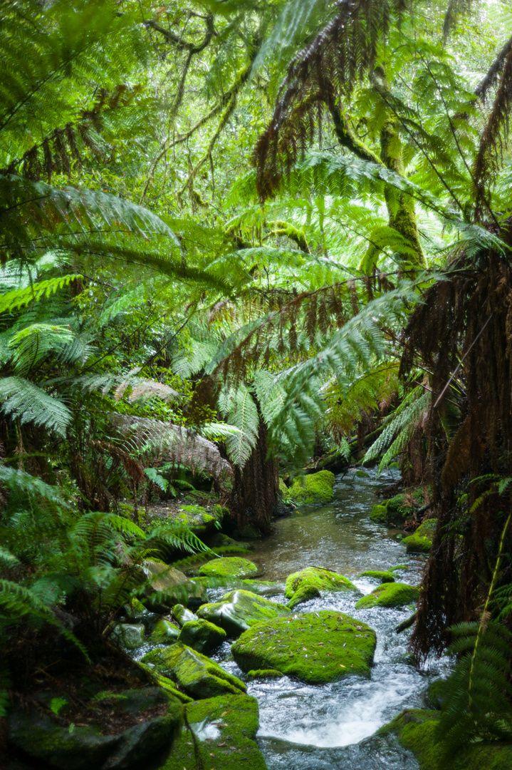 Fern forest creek, Tasmania - Small creek in the fern forests of Northern Tasmania