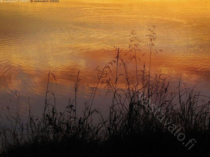 Heinät rannalla - kesäilta tunnelma heinäkasvit heinät järvi tyyni iltarusko rannalla ranta kesä kesäinen lämmin ilta illalla hämärä hämyisä hämyisyys heinä heinäkasvi tähkä tähkät röyhy korsi varsi ranta vedenpinta järvenpinta punerrus rauhallinen rauha hiljaisuus väreily väre vesi valonkajo auringonkajo luonto rantaheinät rantaheinä siemenkasvi siemenkasvit heinikko