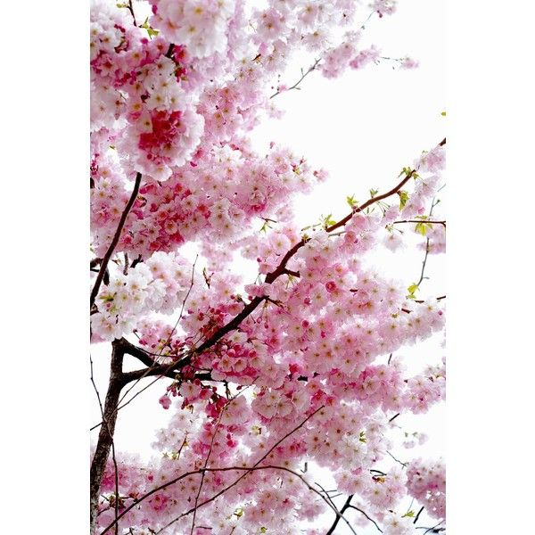 Cherry Blossom ❤ liked on Polyvore