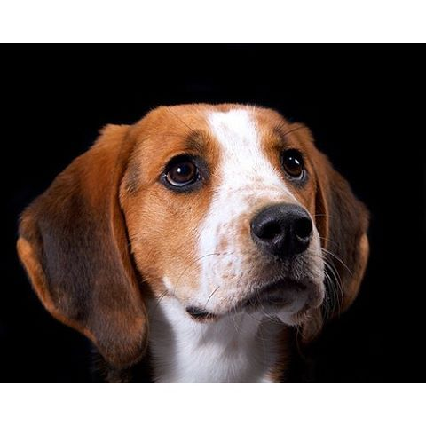 """This beautiful dog is a Treeing Walker Coonhound— let's unpack their name a word at a time. """"Treeing"""" refers to a hound trailing the scent of his quarry until the quarry scurries up a tree for safety, with the hound camping out below and barking, vigorously and distinctively, for as long as it takes for the gun-toting hunter to arrive. """"Walker"""" is Thomas Walker, of Virginia, who in the mid-1700s was a pivotal figure of the breed's early development."""