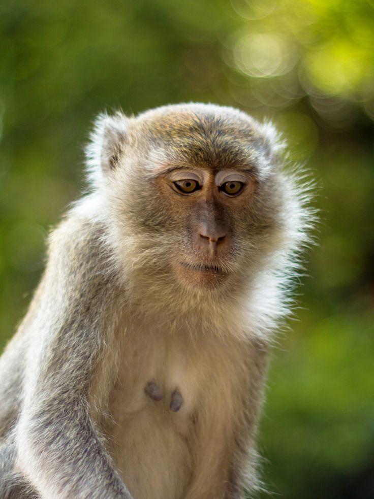 Super cute monkey at Batu Caves in Kuala Lumpur, Malaysia  More photos at http://www.asiatiq.com/super-cute-monkeys-batu-caves-kuala-lumpur/