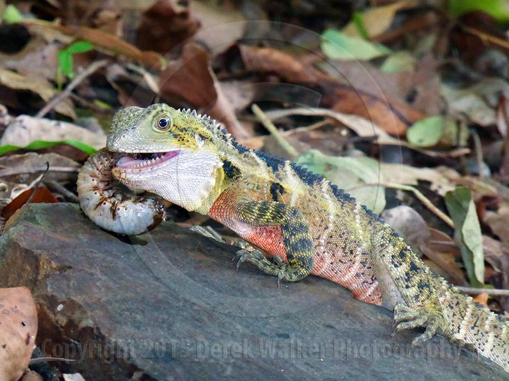 An Australian Eastern Water Dragon (I. l. lesueurii) enjoying a grub meal. For image licensing enquiries, please feel welcome to contact me at derekwalker73@bigpond.com  Cheers :)
