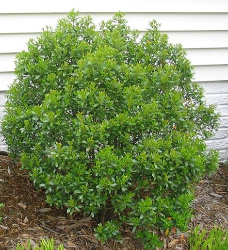 15 best northeast shrubs images on pinterest