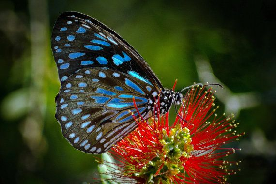 Blue Tiger Butterfly Gift Card Fine Art by JenWatsonPhotography, $5.00 Stunning Blue Tiger Butterfly  Fine Art Nature Photo Card now available!!!  Custom Print also available.