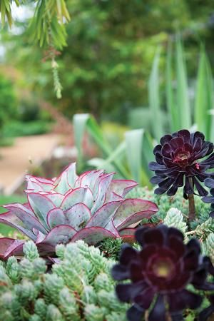 Succulent plantings include red-edged Echeveria subrigida 'Fire and Ice' and deep purple Aeonium arboreum 'Zwartkop.'