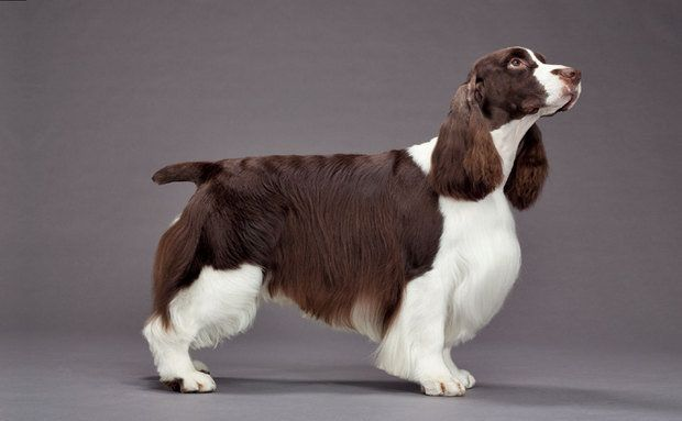 Cachorros:Springer Spaniel