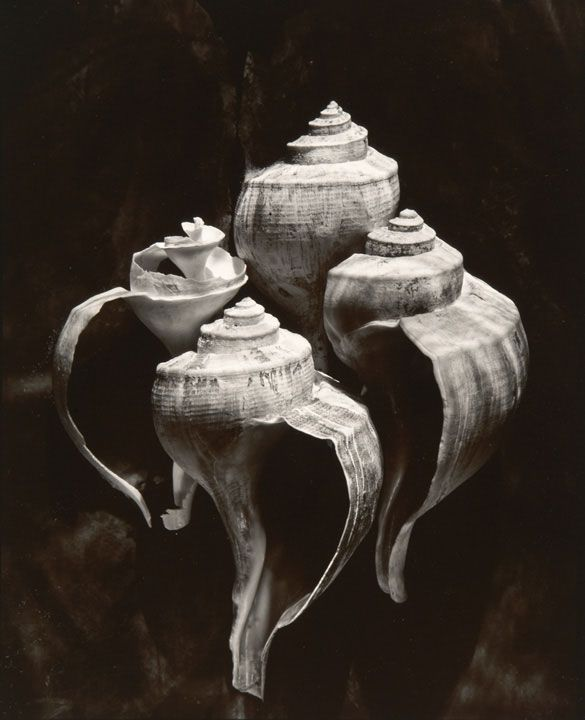 "Olivia Parker - Whelks (from ""Lost Objects portfolio), 1980"