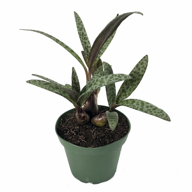 """Leopard Plant - Silver Squill - Scilla - 4"""" Pot - Easy to Grow Houseplant - Hirt's Gardens"""