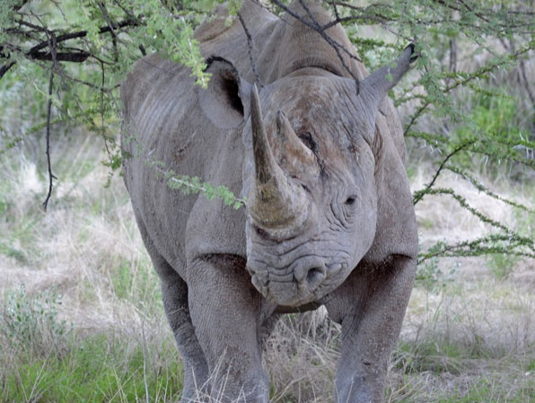 Thirty years ago, the African black rhino numbered 15,000; today, the population sits at about 4,800