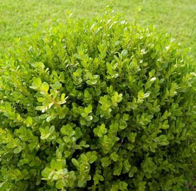 The Low Maintenance Fragrant Evergreen The Green Velvet