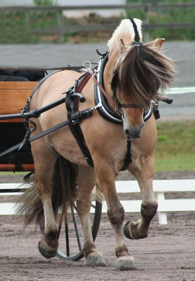 Mimer - Karin Bondesons Fjordhästar