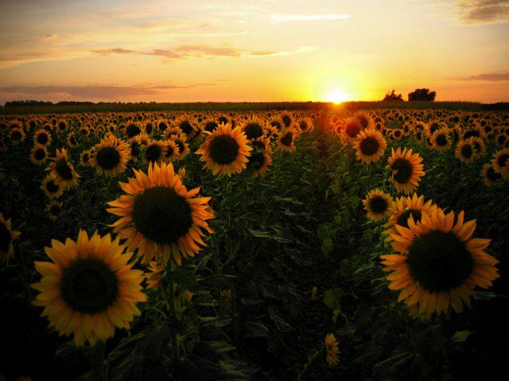 <3 italian sunflower fieldsFavorite Places, Real Life, Dreams, Sunsets, Beautiful, Gardens, Positive Thoughts, Sunflowers Fields, Favorite Flower