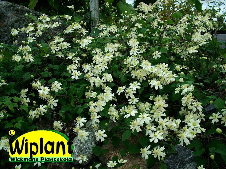Clematis 'Summersnow', vackert vitblommig klematis. Klätterväxt men kan även användas som marktäckare.