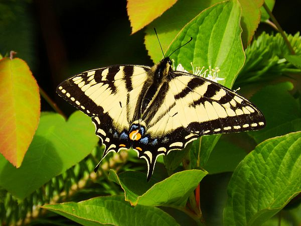 Harmony, by Zinvolle - A canadian tiger swallowtail butterfly was enjoying sunshine of the summer.
