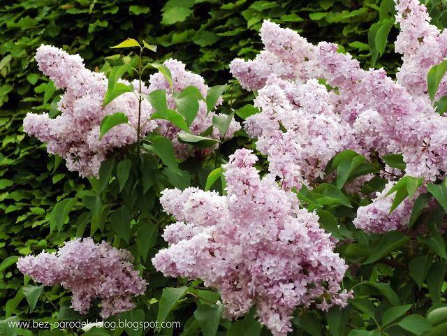 Rose Quartz & Serenity - My flower inspirations. Lilac