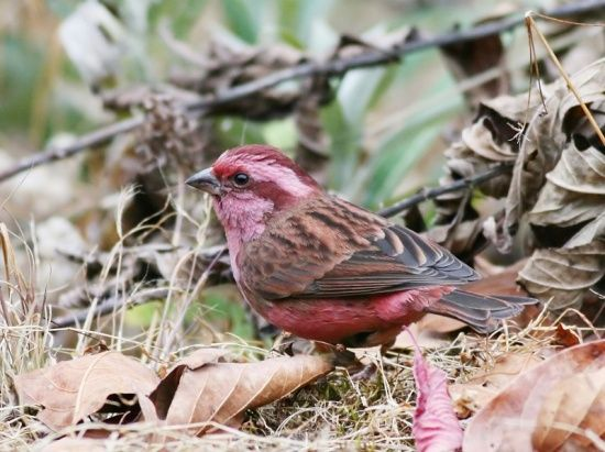 Pink-browed Rosefinch	  (Carpodacus rodochrous)