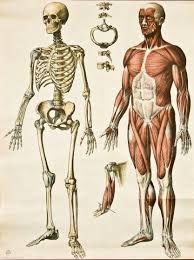 """anatomia Si bien la anatomía se basa ante todo en el examen descriptivo de los organismos vivos, la comprensión de esta arquitectura implica en la actualidad un maridaje con la función, por lo que se funde en ocasiones con la fisiología (en lo que se denomina anatomía funcional) y forma parte de un grupo de ciencias básicas llamadas """"ciencias morfológicas"""""""