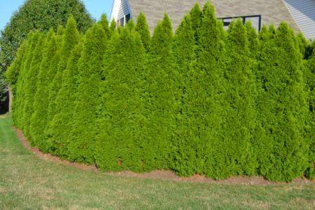 Emerald Green Arborvitae Arborvitae Backyard Landscaping