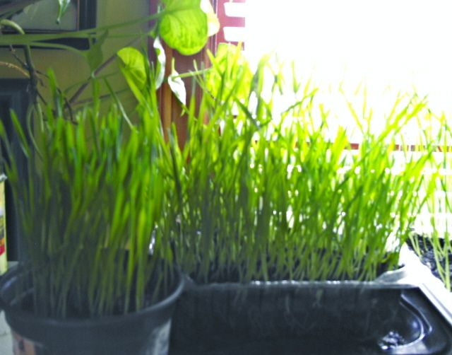 Organic Wheatgrass Seeds 120-240 For Juicing/Sprouting/Cat Grass*Grows Inside, Fast!