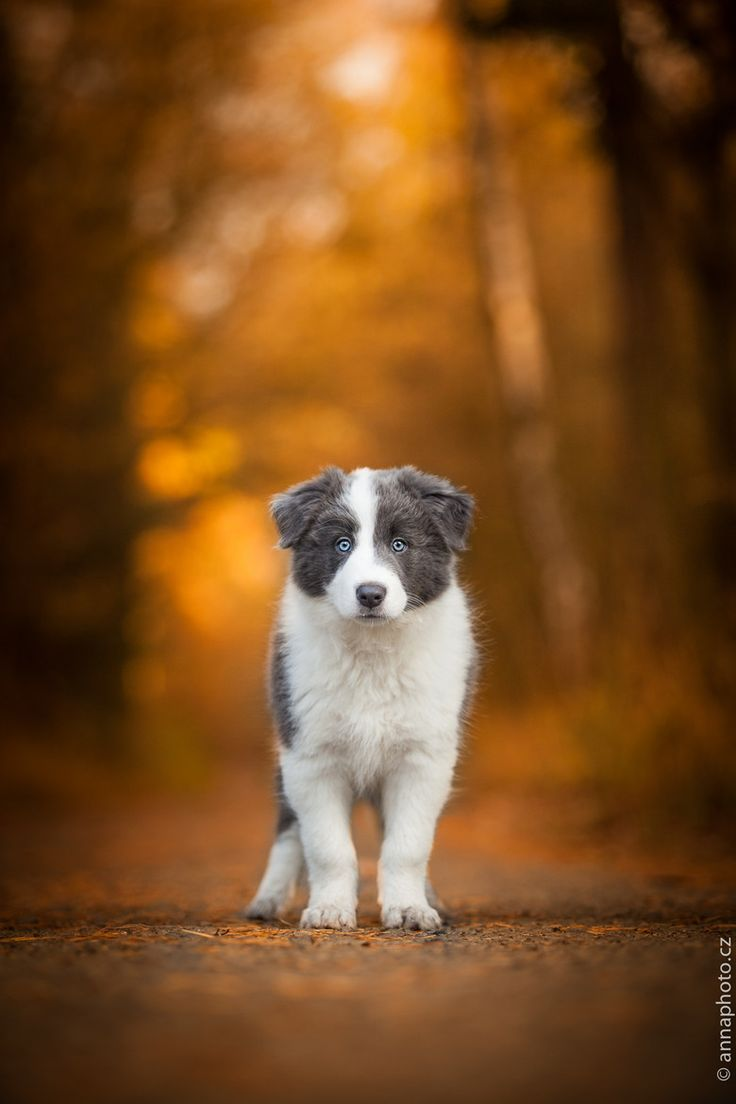 Border Collie Puppy in the Forest