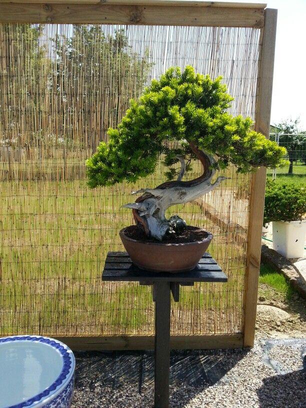 Taxus cuspidata bonsai #tassobonsai
