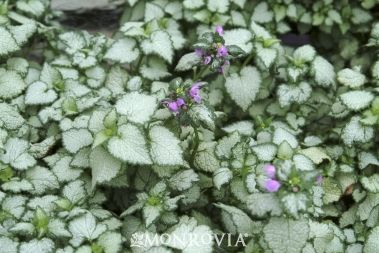 "My Favorite Shady Ground Cover -- If you have a shady or partial shady spot, and you want to fill it in quickly (within 8 weeks), then you will like Lamium Beacon Silver or ""dead nettle.""  Don't buy flats...find someone who has it (me!) and take cuttings.  You can just stick a stem or even part of a leaf in the ground, and it takes root and fills in rapidly!  It flowers from April to October...I love my patches of it!"