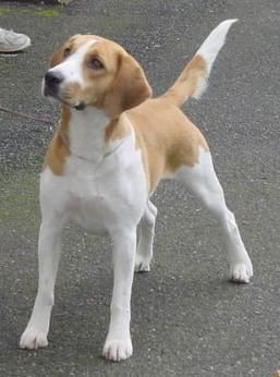 harrier dog photo   Harrier Dogs  Harrier Dog Breed Info & Pictures   petMD