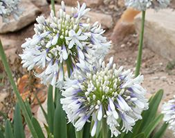 Agapanthus 'Queen Mum' No garden regardless of size should be without this hardy perennial plant. This variety produces large ball-shaped flower heads made up of clusters of trumpet-shaped white flowers with a blue base.