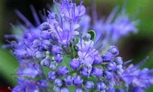 Fiori Blu   Fiori & Foglie