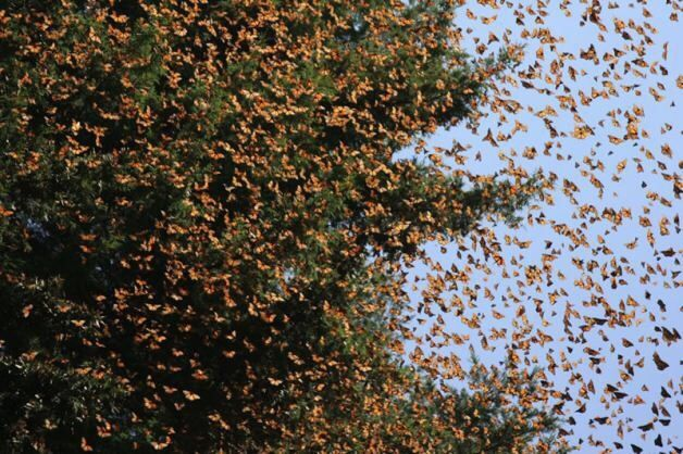 Migrating Monarchs Arrive in Mexico | Monarch Butterflies http://www.birdsandblooms.com/blog/migrating-monarchs-arrive-mexico/?utm_campaign=crowdfire&utm_content=crowdfire&utm_medium=social&utm_source=pinterest