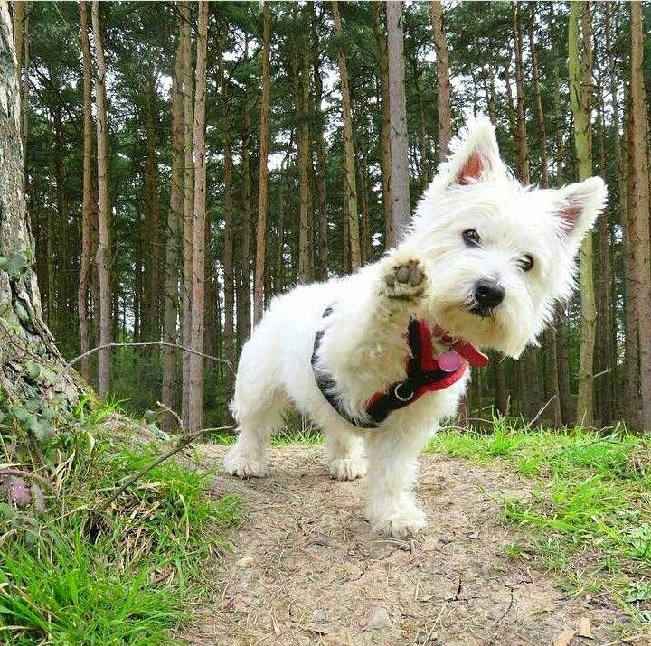 Such A Westie Move Westie Puppies Westie Dogs White Terrier