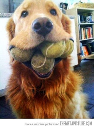 Golden retriever holding tennis balls in his mouth