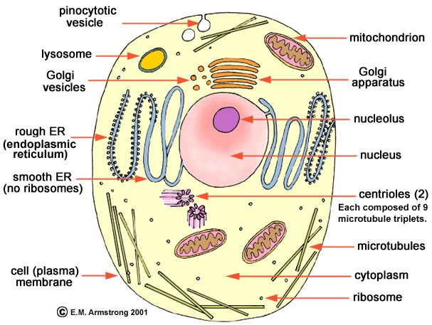 Best 25+ Function of plant cell ideas on Pinterest