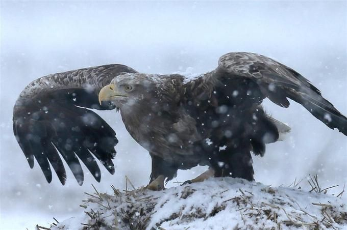 White-tailed sea eagle, Threatened species, Natural treasure 新潟県佐渡市に渡り鳥として飛来しているオジロワシ=16日(大山文兄撮影)