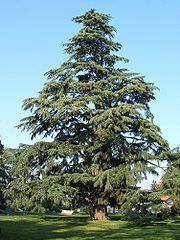 Cedrus deodara - Wikipedia, the free encyclopedia.  This is what your neighbors have growing three feet from the fence.