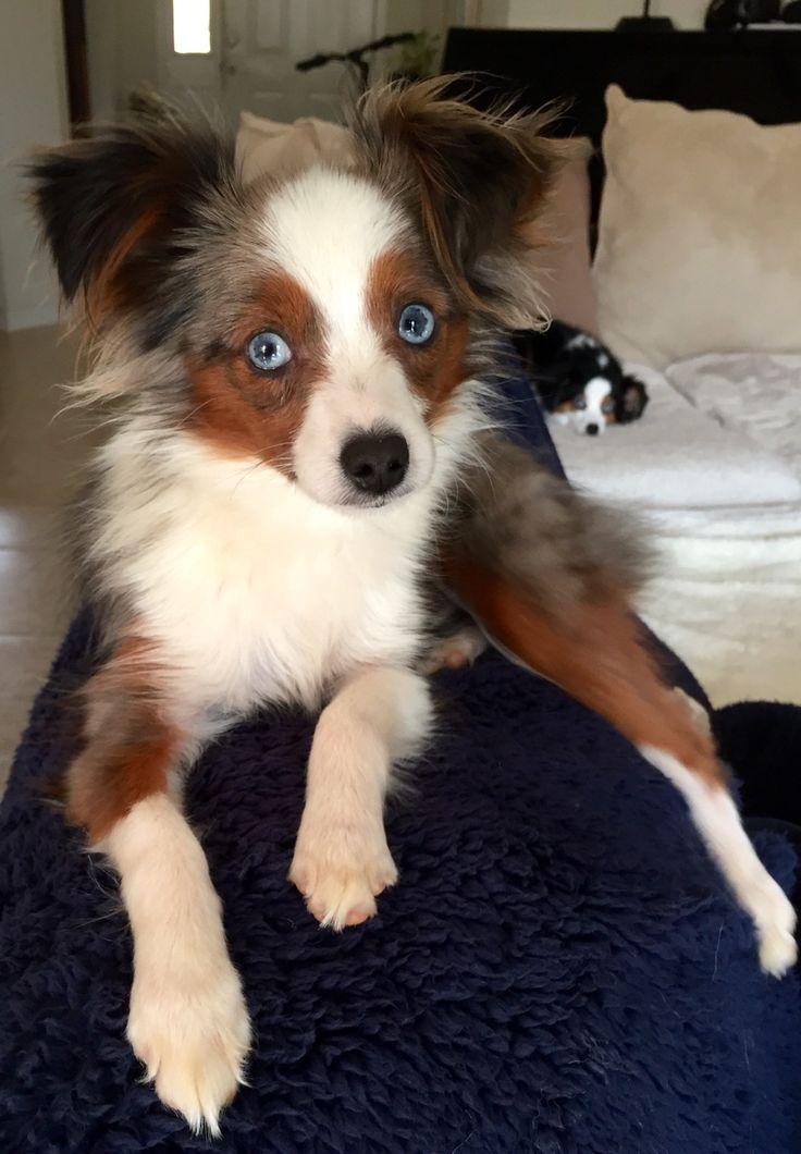 Gorgeous toy Australian shepherd!