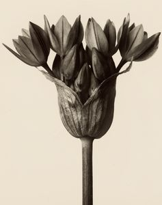 Karl Blossfeldt is best known for his stark close-up portraits of plants, twigs, seeds, leaves, and other flora.