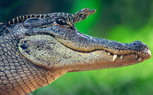 A baby alligator sits on top of its mother's head in St. Augustine Alligator Farm, Florida Picture: John Moran/News Dog Media