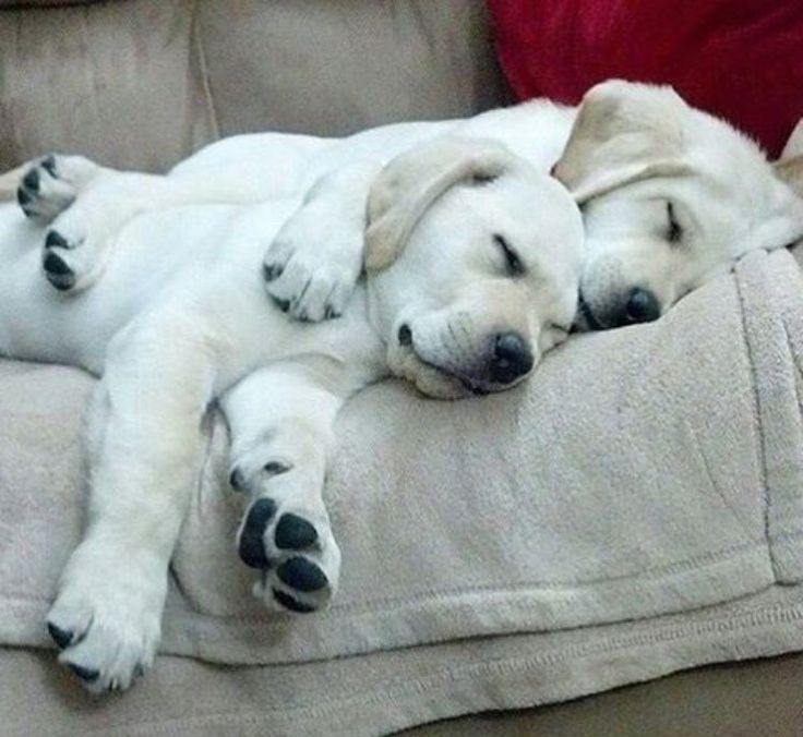 Lab puppies catching a nap