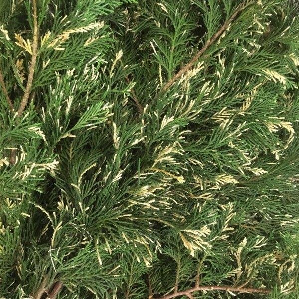 Adventsdeko von Pflanzen-Kölle: Kölle's Bio Bunte Leyland-Zypresse Handbund  Adventskränze, Gestecke oder Sträuße, mit der bunten, haltbaren Leyland-Zypresse aus ökologischem Landbau werden Weihnachtsträume wahr.