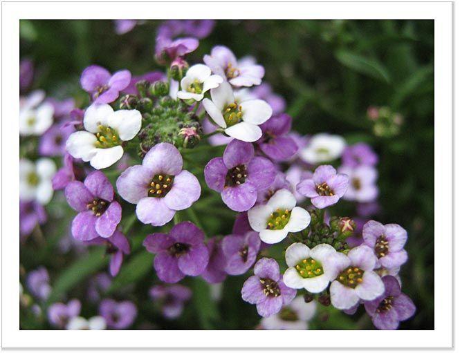 Sweet Alyssum On Pinterest Carpets Plant Identification And Sun