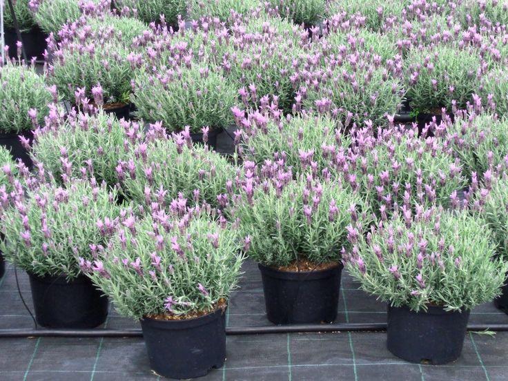 VIVAI DE MICHELE – Piante ornamentali da esterno – Ostuni (BR) » » Lavanda Stoechas purple vs 22