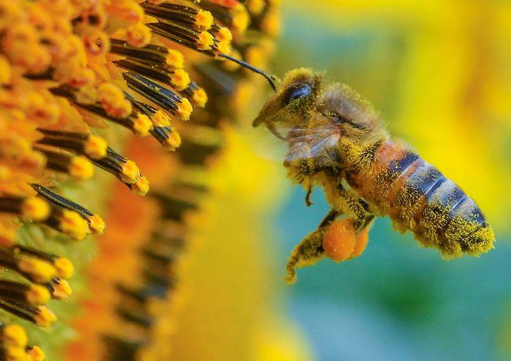 Un'ape raccoglie il polline da un girasole in un campo vicino a Francoforte sull'Ode, in Germania, il 5 luglio 2016 (PATRICK PLEUL/AFP/Getty Images)