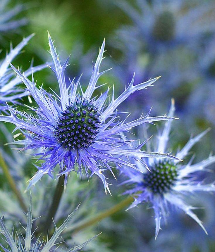 Blue star sea holly eryngium flower seeds perennial 25