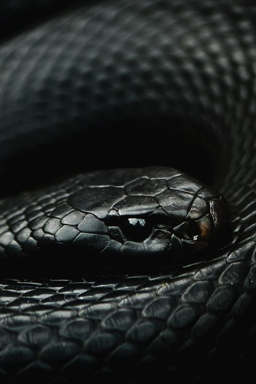 Red-bellied black snake by Adam Plucinski - via  mohamed dalha's photo on Google+