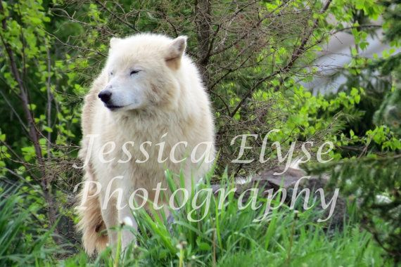 lone wolf stands on a hill looking off into by jessicaelysephotos, $30.00