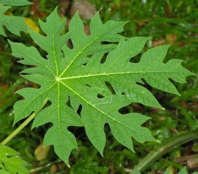 Papaya Blätterpulver 10 kg aus reifen Blättern, Wildsammlung