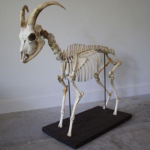 Antique Reconstructed Goat Skeleton On Antique Wood Base 30 Quot H X 32 Quot L X 12 Quot D Rt Fact S